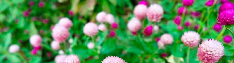 flor-de-amaranto